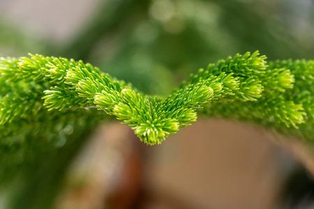 Closeup green pine in garden