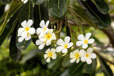 Close-up plumeria flower white color Reklamní fotografie
