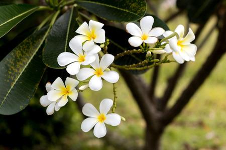 Clos-eup plumeria flower white color Reklamní fotografie