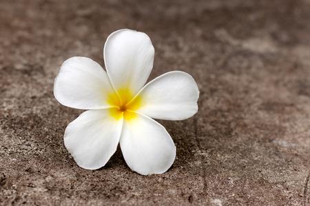 Clos-eup plumeria flower white color on concrete floor Reklamní fotografie