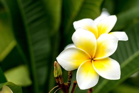 Plumeria flower white color Reklamní fotografie