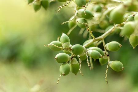 Betel nut, green fruits thai
