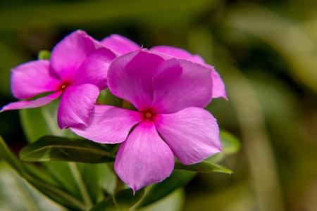 Pink Catharanthus roseus  flowers in Thailand Reklamní fotografie