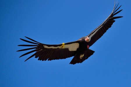 adler silhouette: Fliegen Amerikaner Condor in der Nähe von Big Sur, Kalifornien Lizenzfreie Bilder