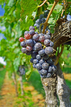enzymes: Beautiful Red Wine Grapes on the Branch