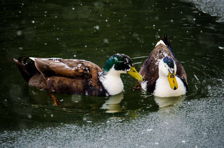 two ducks: Two Ducks Swimming on a Frozen Pond
