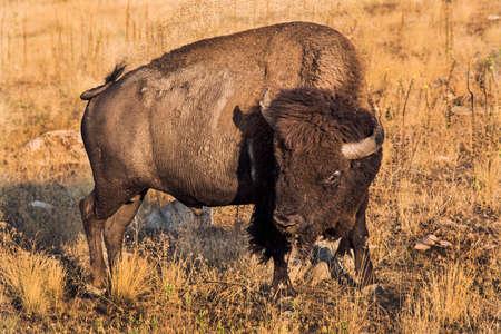 molesto: Un bisonte macho joven que intenta escapar de molestas moscas cerca de Great Salt Lake, cerca de Utah.