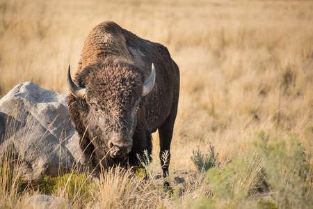 great plains: A male bison grazes on grasslands near Great Salt Lake, Utah.