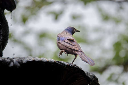 thirsty bird: Common Grackle Bathing in a Water Fountain in Washington D.C. Stock Photo