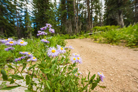 showy: Showy DaisyFleabane wildflowers near a dirt road in alpine forest in Albion Basin close to Salt Lake City Stock Photo