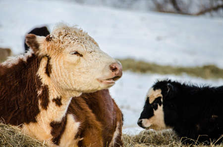 jersey cow: A brown and white jersey cow with her black and white calf during a snowy winter