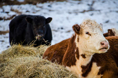 jersey cattle: Black and brown and white jersey cows eating hay during a snowy winter