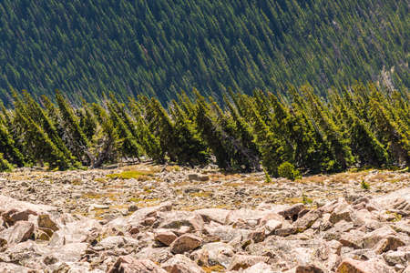 rocky mountains colorado: Pine forest viewed sideways in Rocky Mountains, Colorado