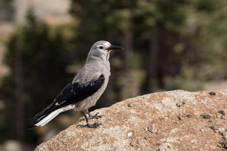 rocky mountains colorado: Clarks nutcracker bird standing on the edge of a cliff at Rocky mountains, Colorado, USA. Stock Photo