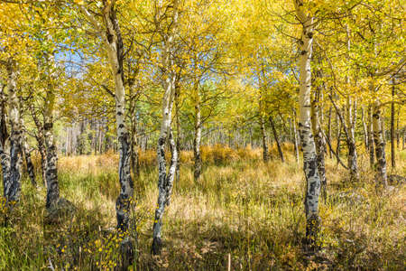 aspen leaf: Golden Aspen Forest in the Rocky Mountains in Colorado Stock Photo