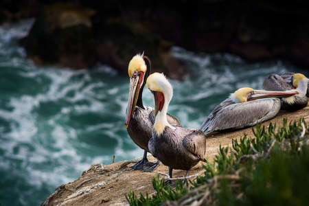 preen: Four colorful brown pelicans with yellow heads resting on a rocky cliff in San Diego, California above the blue ocean in La Jolla cove Stock Photo