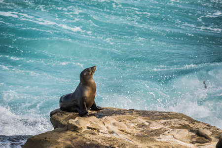 sun bathing: Single arched and wet sea lion sun bathing on a cliff with crashing waves in the background  in La Jolla cove, San Diego, California Stock Photo