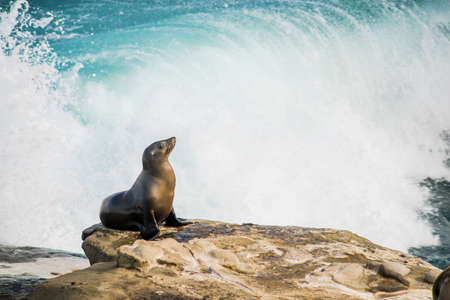 blubber: Single arched and wet sea lion sun bathing on a cliff with crashing waves in the background  in La Jolla cove, San Diego, California Stock Photo