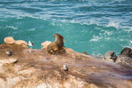 sun bathing: Wet sea lion sun bathing with arched back and three seagulls on a cliff by the ocean in La Jolla cove, San Diego, California Stock Photo