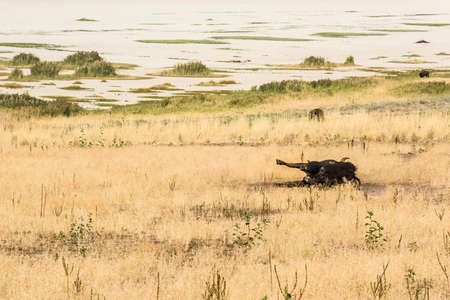 great plains: Bison rolling around in dust and dirt on grassland in Utah Stock Photo