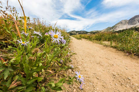 wasatch: Showy DaisyFleabane wildflowers near a dirt road in alpine meadows in Albion Basin close to Salt Lake City