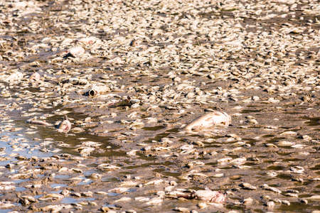 dredging: Dead fish after lake drainage and dredging at Royal Lake Park in Fairfax, Virginia