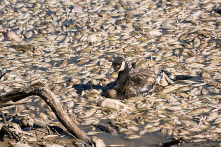 fish water: Dead fish and sick goose after lake drainage and dredging at Royal Lake Park in Fairfax, Virginia