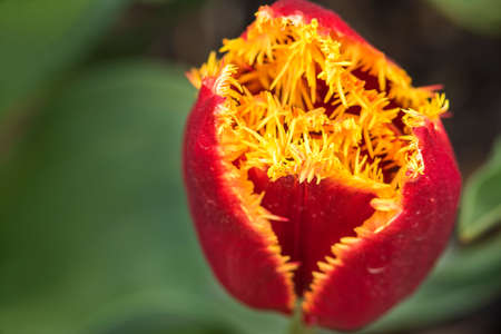 skagit: Macro closeup of fluffy hairy single red orange tulip