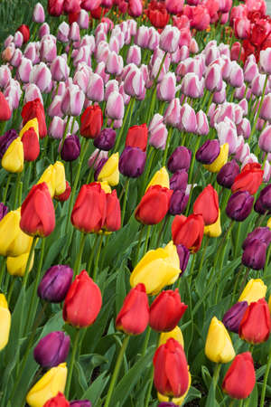 skagit: Vertical view of many different colored tulips on garden bed with purple, yellow, red and pink