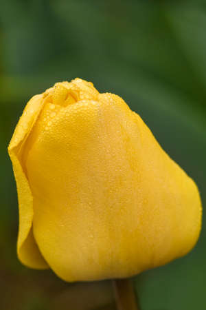skagit: Macro closeup of closed yellow tulip in the spring with a focus on the clear dew drops.