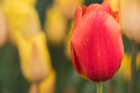 skagit: Macro closeup of red tulip in a field of yellow ones
