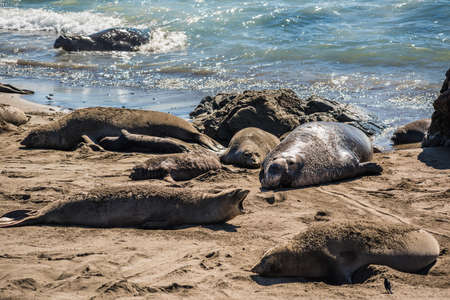 harem: Elephant seal harem with blue alpha male during mating season on California coast