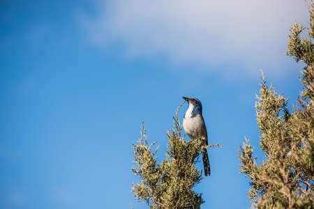 blue jay bird: Blue California western scrub jay bird with white belly perched on a juniper cypress tree
