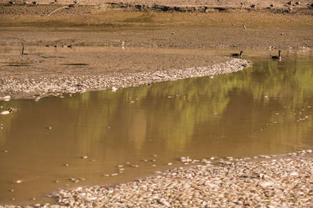 ail: Dead fish in water with swimming geese after lake drainage and dredging at Royal Lake Park in Fairfax, Virginia