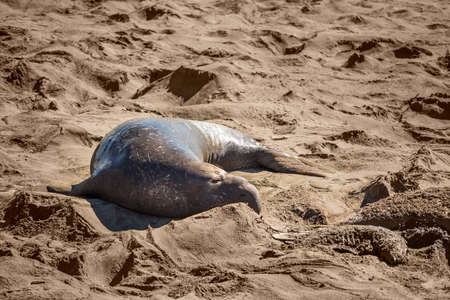 harem: Elephant seal harem with blue alpha male looking at dead seal pup skeleton in San Simeon, California