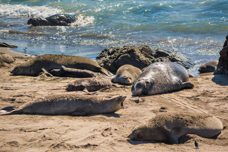 harem: Elephant seal harem with blue alpha male during mating season near San Simeon, California