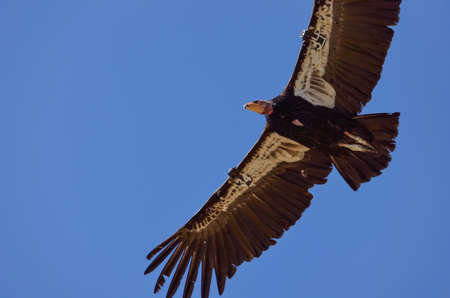 endangered species: American Condor spotted above Route 1 (SR 1) near Big Sur, California, USA. A rare and endangered species of birds. A number tag and a GPS tracking devices are attached to wings of every known bird in the US.
