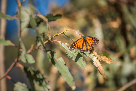 beach butterfly: Orange Monarch butterfly on eucalyptus tree leaves in Pismo Beach, California
