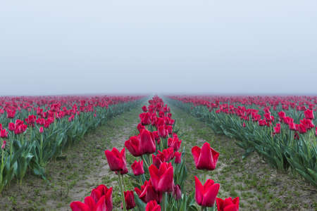 vanishing point: Long field rows of red tulips with vanishing point in dark misty foggy rainy overcast morning dew Stock Photo