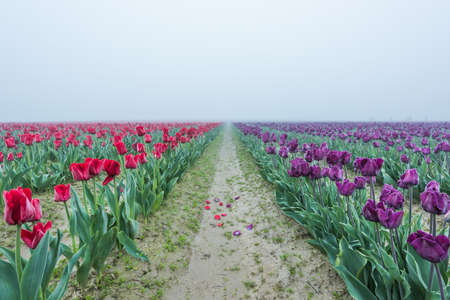 vanishing point: Red and purple tulip field rows with fallen petals in dirt road with vanishing point with misty foggy overcast sky