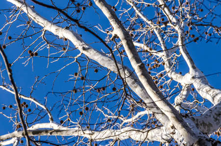 spiky: White bark American sycamore tree (Platanus occidentalis) with spiky fruit in winter against blue sky Stock Photo