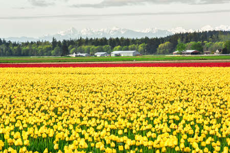 skagit: Field of yellow and red tulip rows in countryside with snowcapped mountains in Skagit Valley