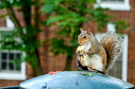 scoundrel: Squirrel holding and eating banana on garbage can Stock Photo