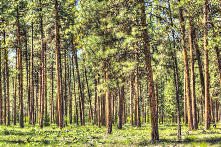pinery: Flat dense red pine forest with thin tree trunks