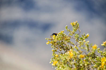 chaparral: Desert beetle fly with large stinger on Larrea tridentata chaparral tree Stock Photo