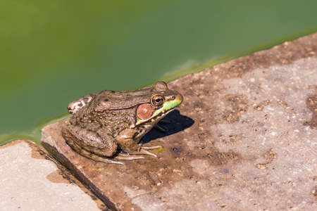 common hop: Large green toad frog sitting by dirty pond