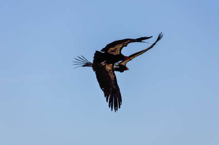 endangered species: Two American Condors flying above Route 1 (SR 1) near Big Sur, California, USA. A rare and endangered species of birds. Stock Photo