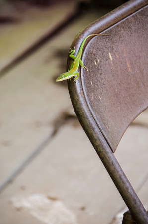 small reptiles: Green anole lizard on metal chair