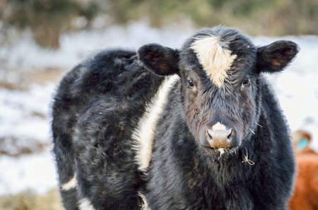 jersey cow: Closeup of black and white jersey cow eating during a snowy winter Stock Photo