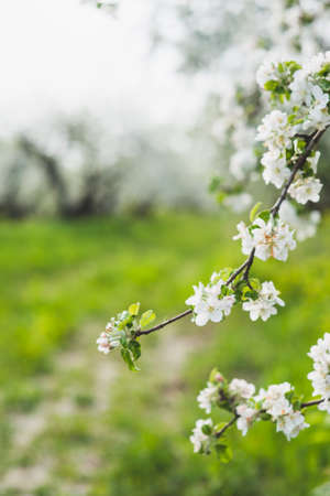 background pattern: A blooming branch of apple tree Stock Photo